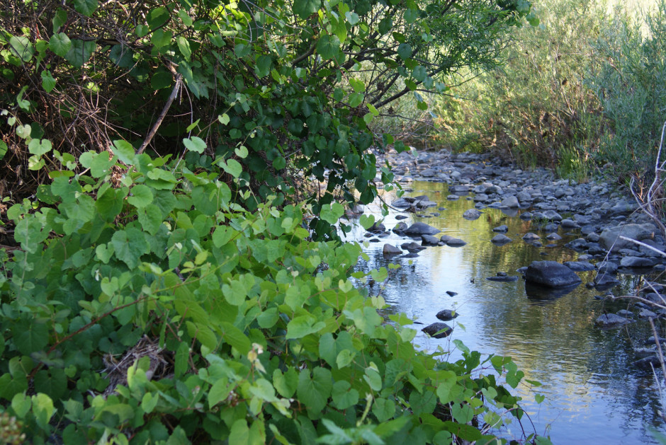 Watersheds with intact understory like native grape and willow are more resilient against erosion from increasing high water events due to anthropogenic climate disruption.